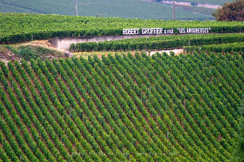 Vineyard. Robert Groiffier Les Amoreuses in the back. Domaine Bertagna, Vougeot, Cote de Nuits, d'Or, Burgundy, France