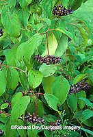 63808-01111 Silky Dogwood (Cornus amomum) with fruit    IL