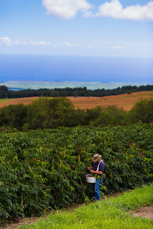Hand harvesting coffee cherry on the plantation at the Ka'u Coffee Mill, in the district of Ka'u on the Big Island of Hawaii, USA, America