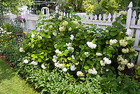 Hydrangea along white picket fence