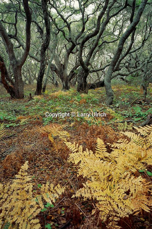 Coast live oaks (Quercus acrifolia)<br /> Los Osos Oaks State Reserve<br /> San Luis Obispo County <br /> California