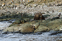 An Antarctic Fur seal on the shores of Aitcho Island in the South Shetland Islands near the Antarctic Peninsula.