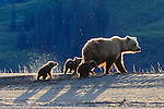 Brown bear and cubs, Lake Clark National Park, Alaska