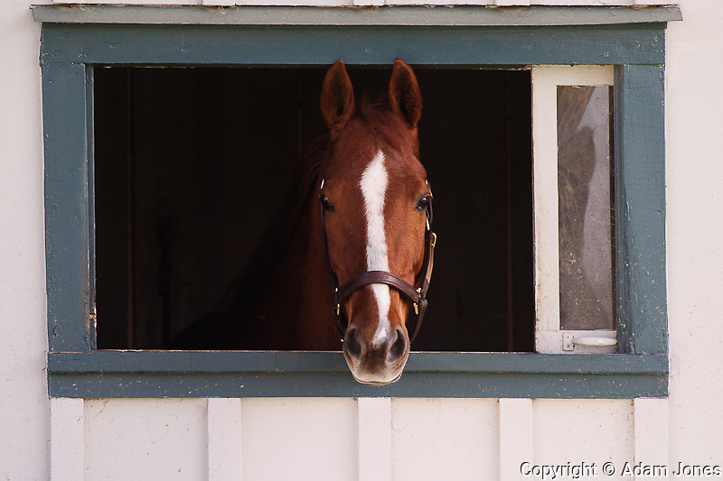 Thoroughbred horse in window,.Kentucky Horse Park, Lexington, KY