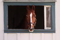 Thoroughbred horse in window,.Kentucky Horse Park, Lexington, KY