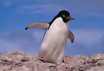 Adelie penguin takes a rock to its nest, Antarctica