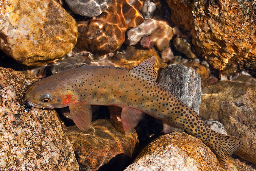 Cutthroat from Rocky Mountain National Park, half in/half out of the water after falling for an Ant