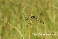 06496-00303 Arrowhead Spiketail (Cordulegaster obliqua) male Little Shoal Creek Fen Washington Co. MO