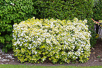 Spring flowering shrub Choisya ternata Sundance, yellow foliage with white blooms showing entire plant habit as hedge