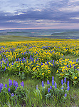 Columbia Hills State Park, Washington:<br /> Morning light on Lupine and balsam root blooming on a hillside in the Columbia Hills above the Columbia River