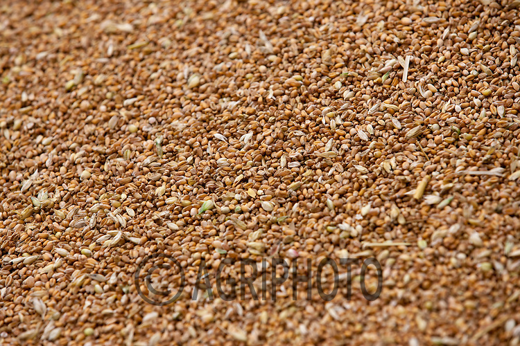 Wheat being tipped into a grain pit<br /> Picture Tim Scrivener 07850 303986