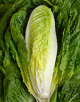 Agriculture - Clasp of a Romaine lettuce heart with the outer leaves spread open, studio.