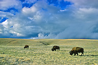 Bison herd on prairie at Wind Cave National Park, Black Hills of South Dakota, AGPix_0012.