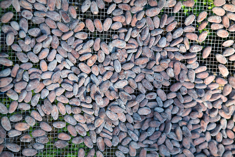 Close-up of cacao beans drying in the sun, Isla Bastimentos, Bocas del Toro, Panama