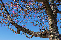 Anti-personnel tree, pink blossom, spikey trunk and branches, Spain, Nueva Alcantara, San Pedro de Alcantara, Spain, 19th November 2017, 201711194008<br /><br />Copyright Image from Victor Patterson, 54 Dorchester Park, <br />Belfast, UK, BT9 6RJ<br /><br />t1: +44 28 9066 1296 (from Rep of Ireland 048 9066 1296)<br />t2: +44 28 9002 2446 (from Rep of Ireland 048 9002 2446)<br />m: +44 7802 353836<br /><br />victorpatterson@me.com<br />www.victorpatterson.com<br /><br />Please see my Terms and Conditions of Use at VICTORPATTERSON.COM. It is IMPORTANT that you familiarise yourself with them.<br /><br />Images used on the Internet must be visibly watermarked i.e. ©VICTORPATTERSON.COM within the body of the image and copyright metadata must not be deleted. Images used on the Internet have a size restriction of 4kbs and are chargeable at the then current NUJ rates.<br /><br />This image is only available for the use of the download recipient i.e. television station, newspaper, magazine, book publisher, etc, and must not be passed on to any third party. It is also downloaded on condition that each and every usage is notified within 7 days to victorpatterson@me.com<br /><br />The right of Victor Patterson to be identified as the author is asserted in accordance with The Copyright Designs And Patents Act (1988).