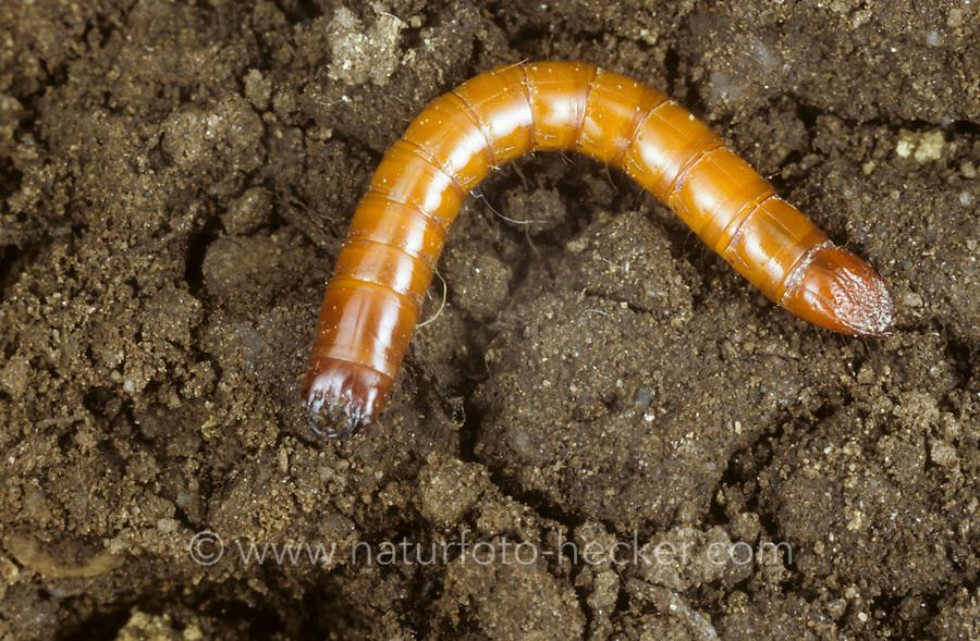 Schnellkäfer, Larve, Drahtwurm, Elateridae, click beetle, click beetles, larva, larvae