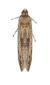 36.001 (0878)<br /> Batrachedra praeangusta