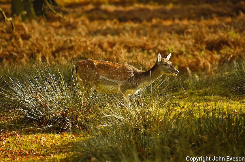 Follow deer hind, Dunham Massey, Trafford, Greater Manchester.