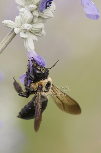 Carpenter Bee, Xylocopa virginica, feeding on Mealy sage (Salvia farinacea), Uvalde County, Hill Country, Texas, USA, April 2006