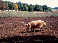 FARM ANIMALS<br /> Lactating Sow In A Field<br /> Dordogne, France