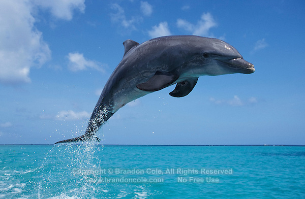my850. Bottlenose Dolphin (Tursiops truncatus) leaping into blue sky. Honduras, Caribbean Sea..Photo Copyright © Brandon Cole. All rights reserved worldwide.  www.brandoncole.com