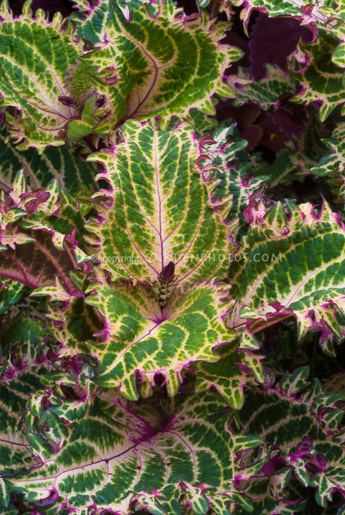 Coleus (Solenostemon) 'Peter's Wonder', annual foliage plant in green and yellow with pink red edges, variegated leaves