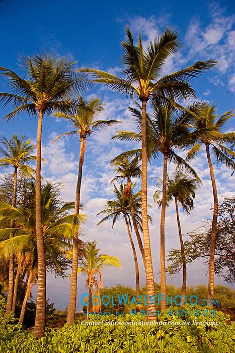 Coconut Palms, Cocos nucifera, and Naupaka, Scaevola sericea, `Anaeho`omalu Beach, Waikoloa, Big Island, Hawaii, Pacific Ocean