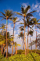 Coconut Palms, Cocos nucifera, and Naupaka, Scaevola sericea, `Anaeho`omalu Beach, Waikoloa, Big Island, Hawaii, Pacific Ocean