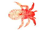 Head Louse, Lice, Family sp. Pediculidae, specialist microscopic photography.United Kingdom....