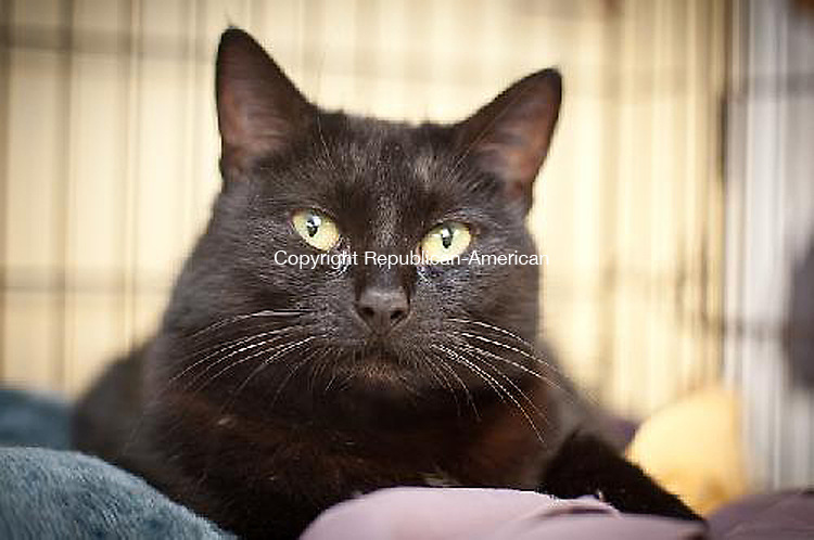 MIDDLEBURY, CT- JUNE 27 2011-062712DA02- (POUND BY TOWN) My name is Mittie. I am a 2 year old solid black female kitty. I ended up at the shelter after a family member became allergic to me, and had to give me up. I am an overall great girl who loves attention. I often knead when someone comes by to visit with me. I do not really like other cats, so would probably be happiest as the only feline in my new home and have your attention all to myself. So please call my friends at Animals for Life, Inc. in Middlebury, 203-267-6777Animals for Life, Inc. in Middlebury, 203-267-6777Darlene Douty Republican American