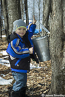 Little boy opening lid of sugar maple sap collection bucket
