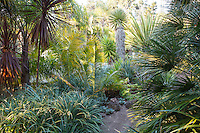Dirt path in tropical foliage California garden with bromeliad groundcover (Fascicularia bicolor) and palm trees