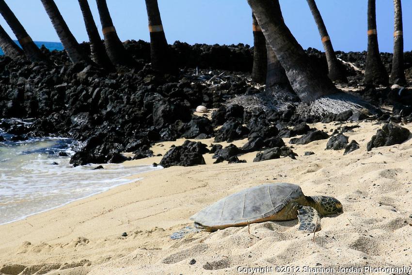 A sea turtle sleeps on the beach on the big Island of Hawaii