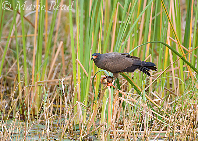 Snail Kite  (Rostrhamus sociabilis), male perched amid cattails, holding a snail, Osceola County, Florida,<br /> Cropped from original