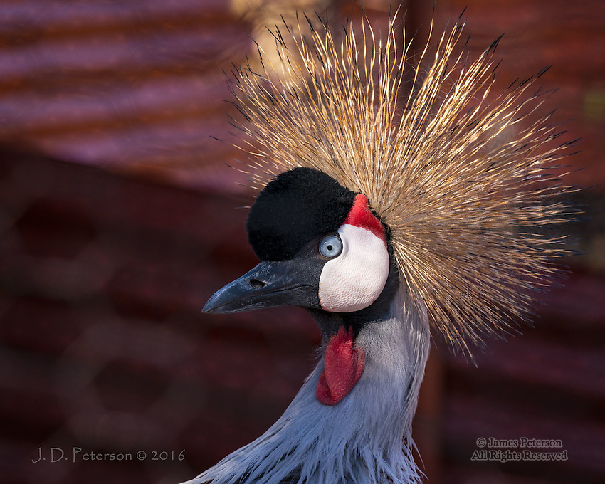 East African Crowned Crane ©2016 James D Peterson.  This bird is in the care of the Runnin' W Wildlife Center, a non-profit sanctuary in Cornville, Arizona.