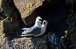 July 2016 - Borgarfjordur Eystri -  Kittiwakes in the Eastern Fjords, Borgarfjordur Eystri, Iceland.