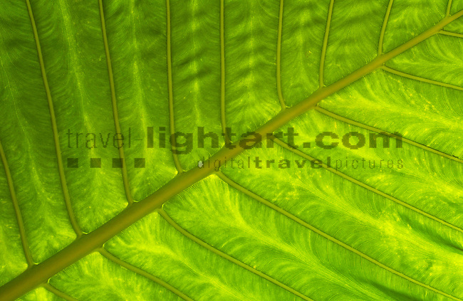 Leaf, Moragalla, near Confifi Beach Hotel, Beruwala, Western Province, Sri Lanka..nature, botanic, plants, leaf, flora.©Photo: Paul J.Trummer, Mauren / FL .www.travel-lightart.com..