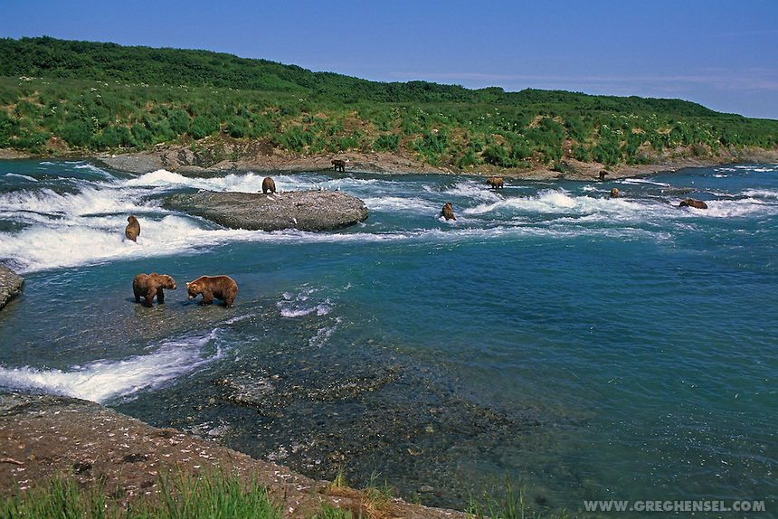 Large group of Brown Bears fishing for Salmon at McNeil Falls. Summer at McNeil River Bear Sanctuary in Southwest Alaska.