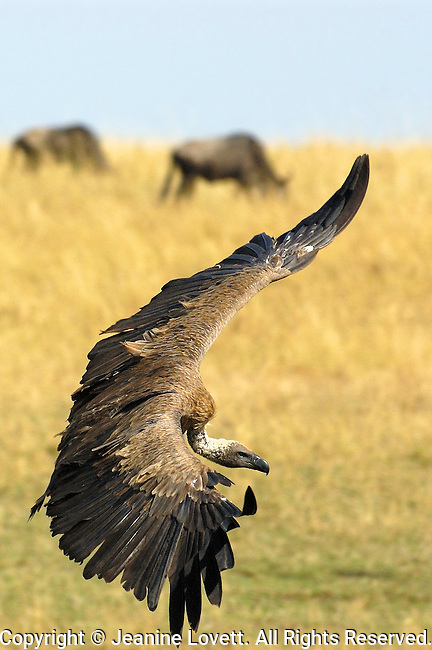 Ruppell's griffon vulture coming in for a landing with wings spread.