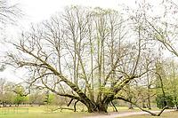 France, Loir-et-Cher (41), Cheverny, château et jardin de Cheverny en avril, tilleul des Familles, tilleul à grandes feuilles, (Tilia platyphyllos), planté vers 1870