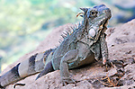 14 August 2009: The Green Iguana (Iguana iguana) is found throughout the island of Bonaire. Taken along the coral coastline at Captain Don's Habitat on the island of Bonaire, in the Netherlands Antilles. Mandatory Credit: Ed Wolfstein Photo