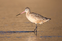 Marbled Godwit (Limosa fedoa) searching for food at the seashore