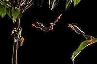a red eyed tree frog leaping.  (composite image)