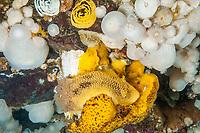 sea lemon, Peltodoris nobilis, feeding on on yellow sponge, among frilled anemone or short pulmose anemone, Metridium senile, Browning Pass, British Columbia, Canada, Pacific Ocean