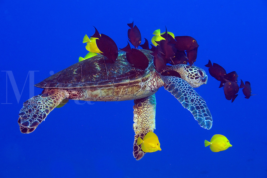 Green sea turtle, Chelonia mydas, being cleaned by surgeonfish.  Hawaii.