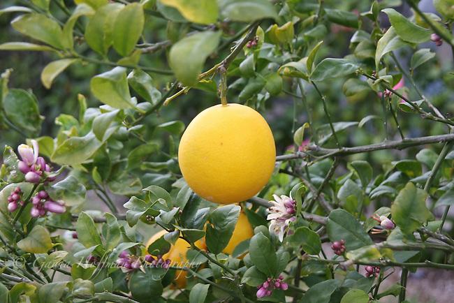 Meyer Lemon & blossoms on tree.
