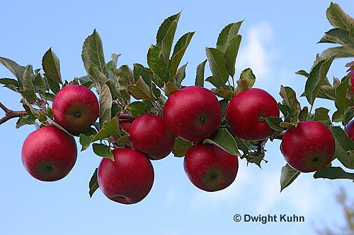 AT02-501z Apples, Cortlands