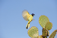 Green Jay (Cyanocorax yncas), adult landing on Texas Prickly Pear Cactus (Opuntia lindheimeri)D inero, Lake Corpus Christi, South Texas, USA