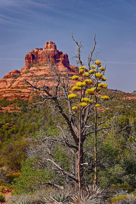Century Plants and Bell Rock, near Sedona, Arizona