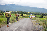 INDONESIA, Flores, men carry harvested rice barefoot down a dirt road in Narang village